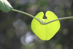 lijepa, list, zeleni, biljka, biljka