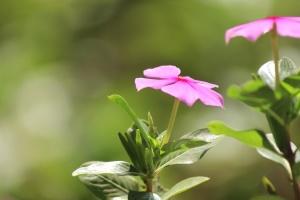 허브, 핑크, 꽃, 꽃, 꽃잎, 식물, 꽃