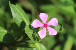 핑크, 꽃, 꽃잎, 꽃, 꽃, 식물, 허브