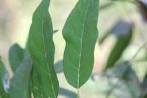 커스터드, 식물, 잎, 녹색