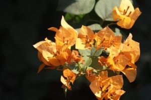 vacker, blomma, blad, kronblad, våren, blomma, garden, buske