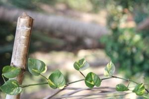 biljka, bambus, vrt, zeleni, proljeće, svježinu, okoliš