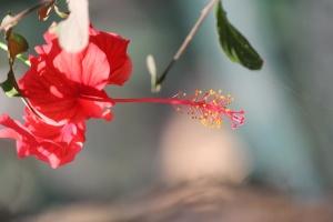 hibiscus, flower, petal, plant, leaf, garden, blossom, pink, leaves