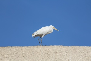 beautiful, white, bird, white heron, bird