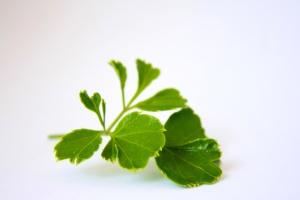 groene bladeren, thee, blad, plant