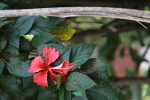 hibiscus, red, plant, leaf, flower