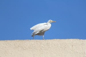 white heron, bird, beautiful, sky