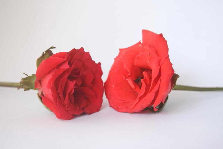 trandafir, flori, dragoste, petală