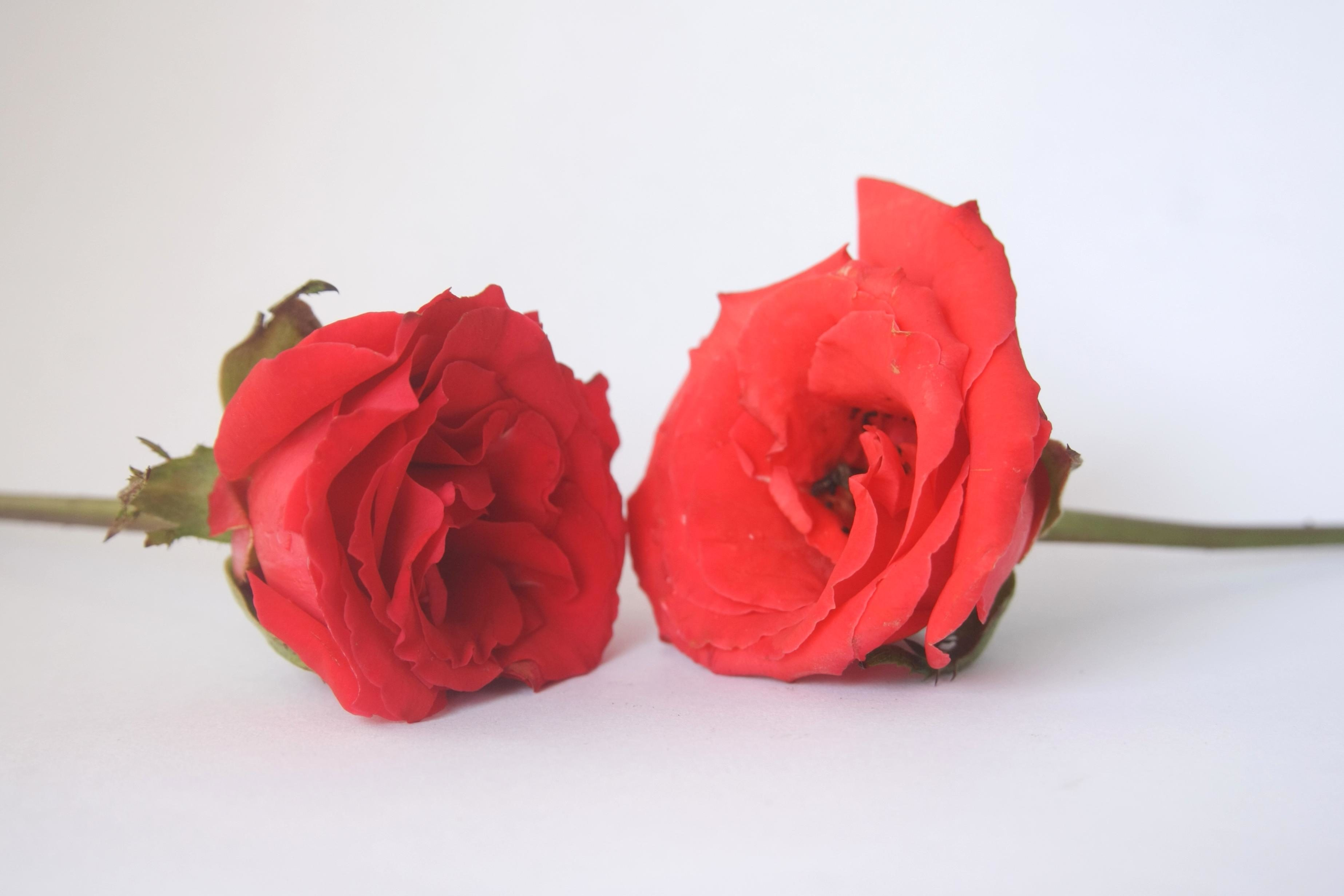 Love Rose Flowers Pictures
