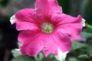 όμορφα, ροζ, λουλούδι, πέταλο, φυτό, ύπερο, γύρη