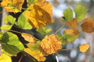 autumn, leaves, brown, plant, leaf, garden, maple