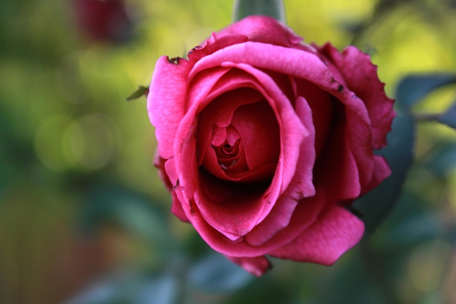 beautiful, red, pink, rose, rose, pink, flower, petal, blossom