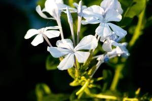 blomma, växt, lampa, blomma, våren, trädgård, blad, kronblad, ört