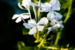 flower, plant, bulb, blossom, spring, garden, leaf, petal, herb