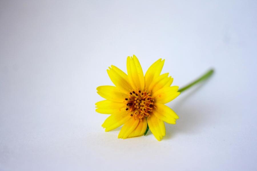 yellow, flower, sunflower, spring, pollen, bloom