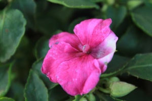 flower, pink, petal, plant, bloom, shrub, blossom