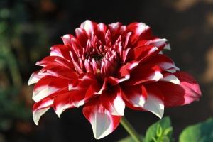 blomstrende, blomst, blomst, pink, kronblad, blossom, plante, bloom