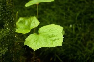 green leaves, herb, garden, green, leaf, plant
