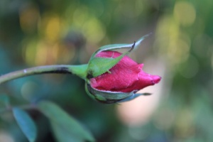 pink, red, rose bud