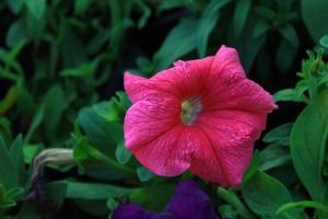 pink, plant, flower, petal, garden, pistil, blossom