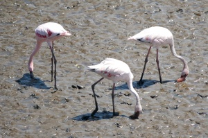 flamingo, bird, animal, mud, ground