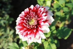 cvatnje, cvijet, latica, cvijet, biljka, cvijet