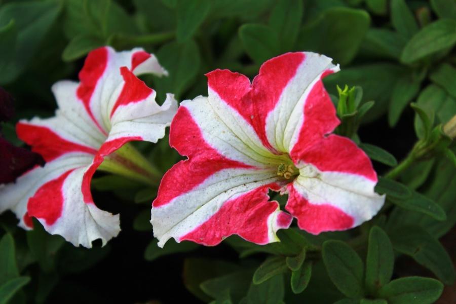 vermelho, branco, flores, flor, pétala, planta