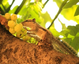 squirrel, fruit, animal, tree, branch