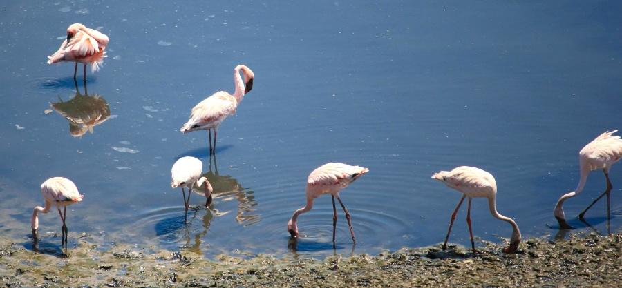 flamingo, water, animal, lake, bird