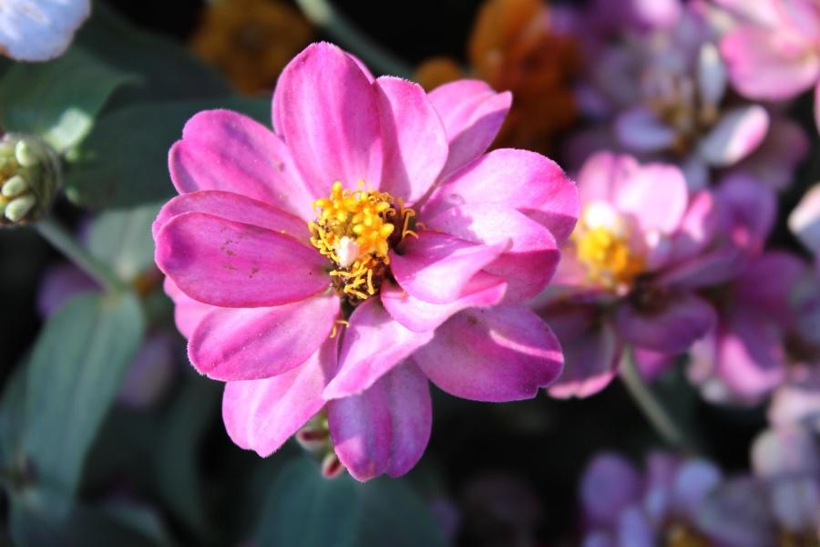 pink, flower, plant, blossom, bloom, flowers, garden, pollen