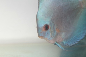 beyaz balık, balık, akvaryum balığı, akvaryum, tatlı su balığı
