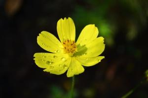 bunga kuning, embun, kelopak, putik