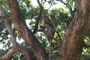 monyet, pisang, monyet, primata, kapusin