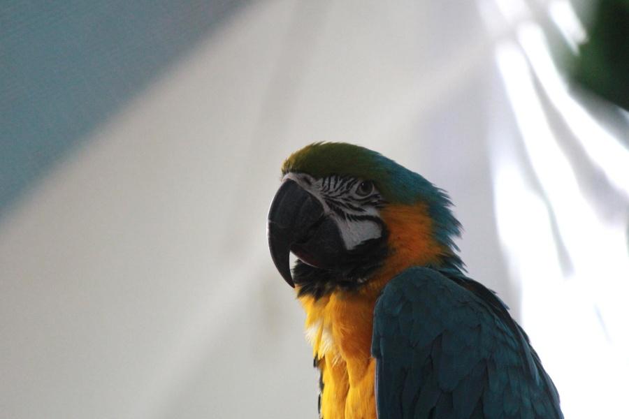 papagáj, papagáj, madár, állat, színes