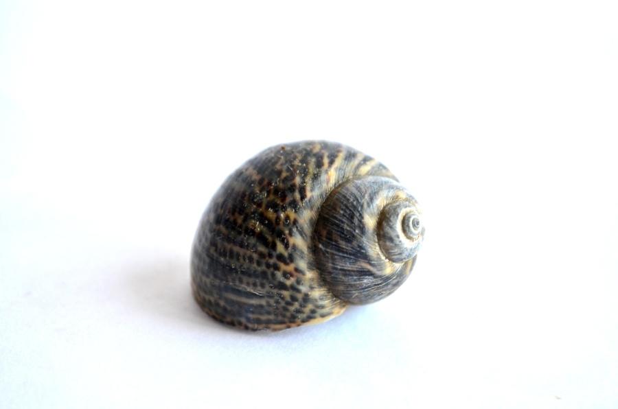shell, mollusk, snail, anima