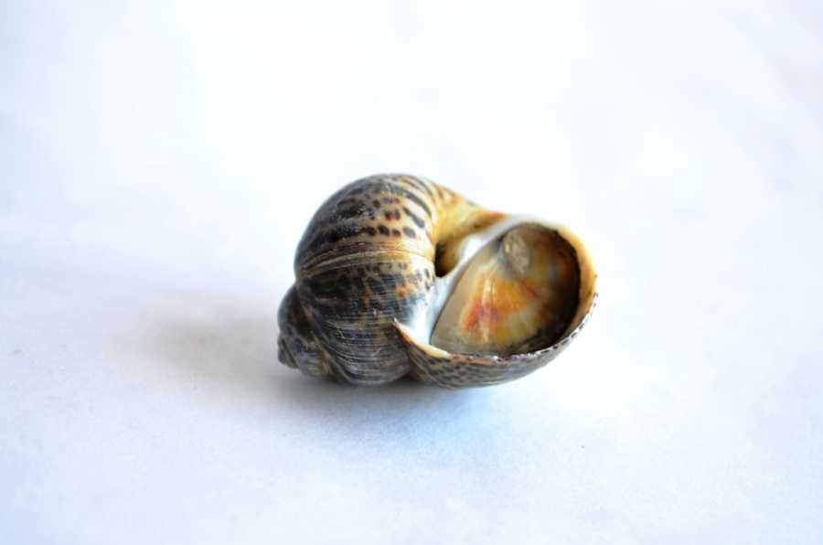 shell, snail, mollusk, snail, animal, invertebrate