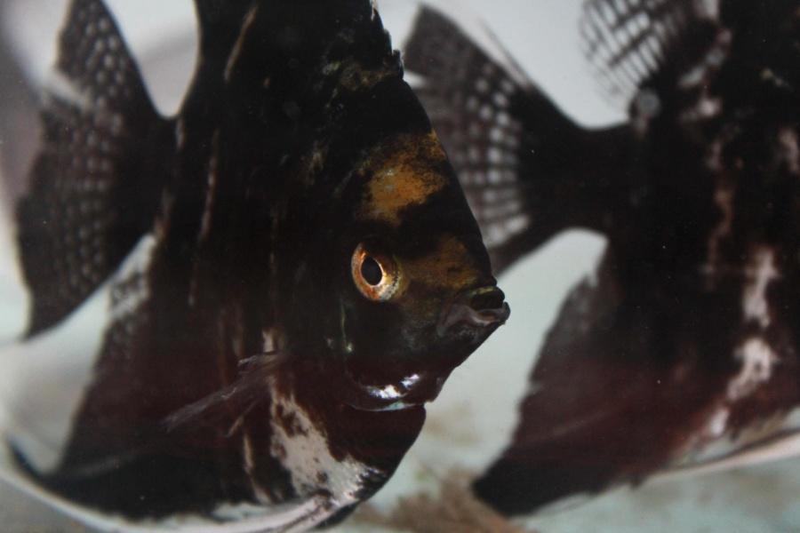 black, fish, aquarium, freshwater fish