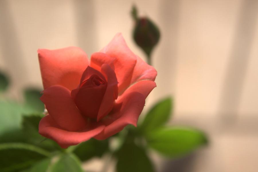 rose bud, rose, flower, plant, petals, bouquet
