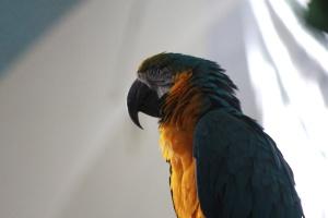 papagáj, sárga, zöld, papagáj, madár