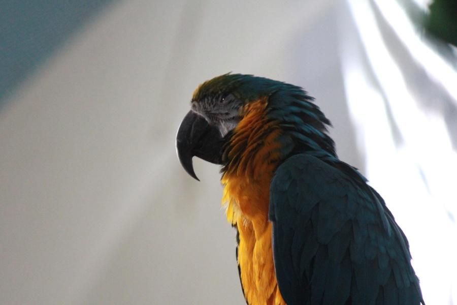 parrot, yellow, green, macaw, bird