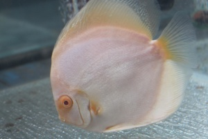 white, fish, animal, peth, aquarium
