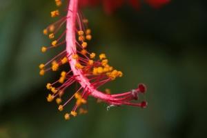hibiscus, flower, macro, pistil