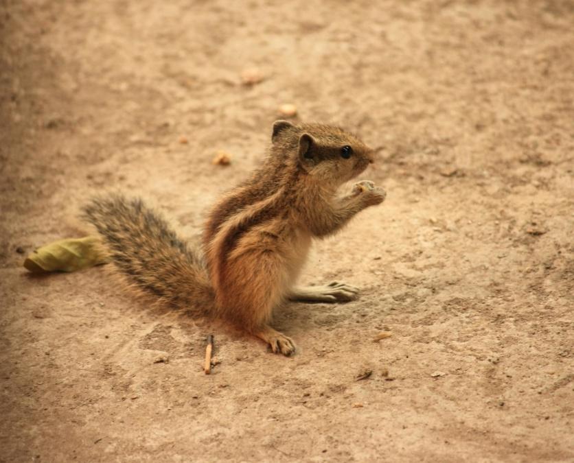 squirrel, ground, animal, rodent