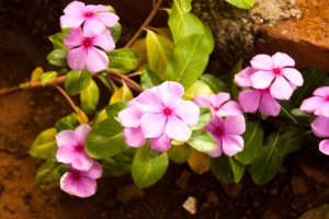 pink, flower, blossom, garden, bloom, petal, plant
