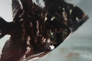 black, fish, aquarium, pet