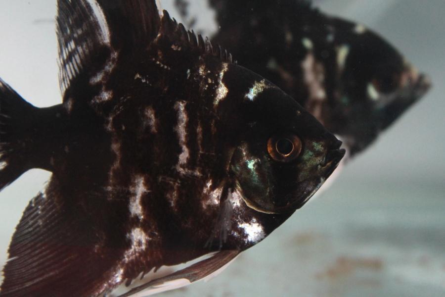 black, fish, aquarium, pet