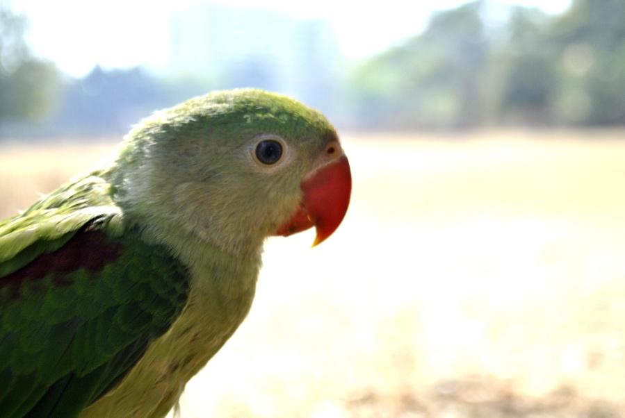 green, parrot, bird, animal