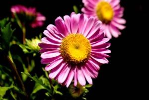 flower, daisy, petal, blossom, plant, bloom, garden