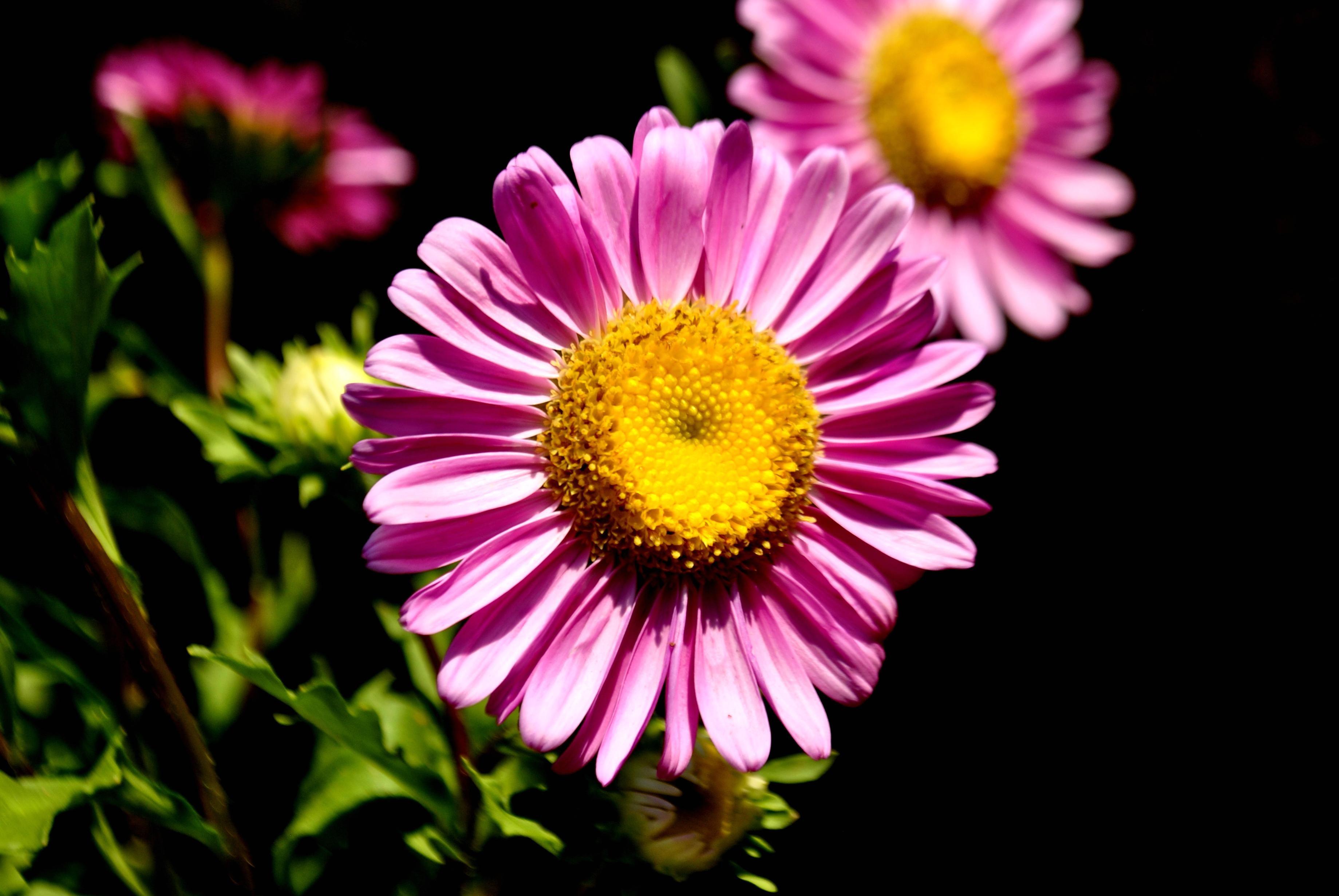 Image Libre Fleur Marguerite Petale Fleur Plante Fleur Jardin