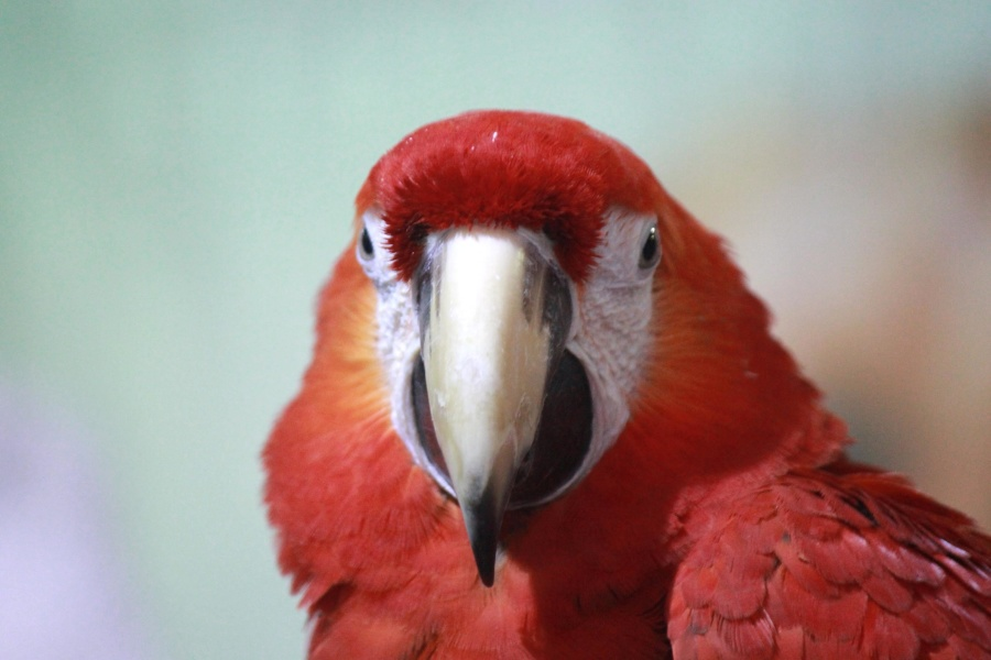 macaw, parrot, bird, red, animal